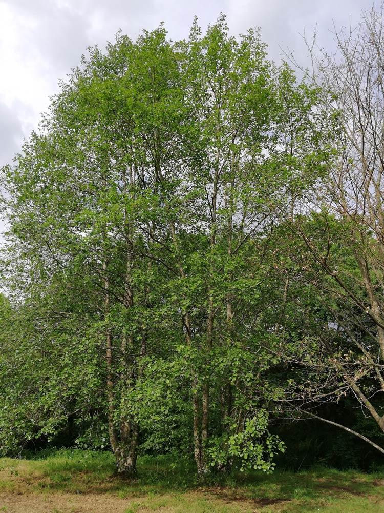 Ameneiro árbore frondosa mediana