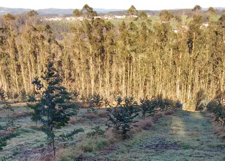 Eucaliptos en Galicia