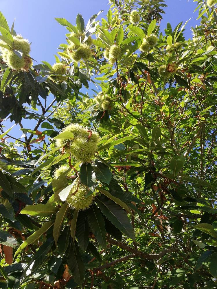 Castiñeiro · Arbores