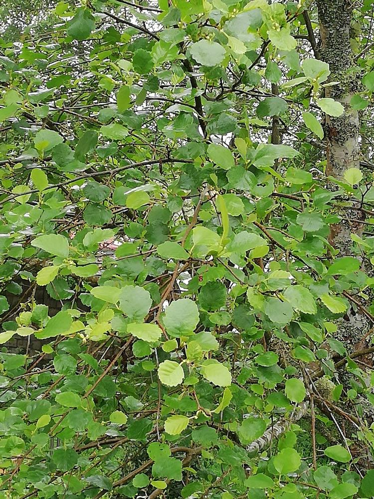 Ameneiro arbore de follas simples