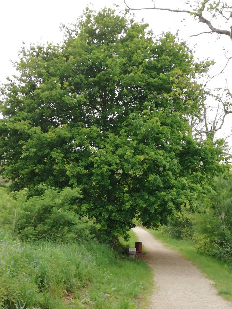 Arbore Carballo en Negreira