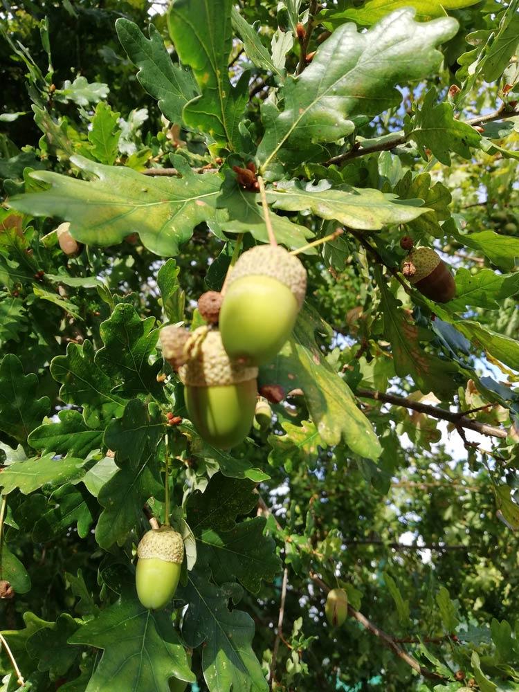 Froitos do Carballo