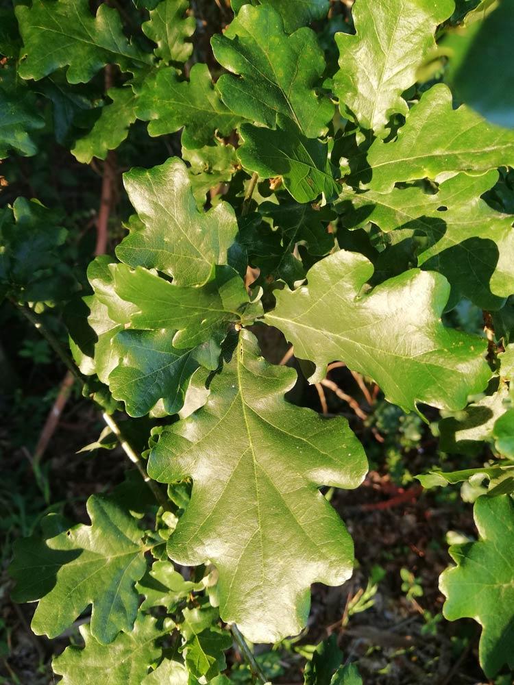 Follas do carballo